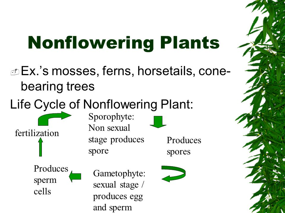 Nonflowering Plants Ex.'s mosses, ferns, horsetails, cone-bearing trees. Life Cycle of Nonflowering Plant:
