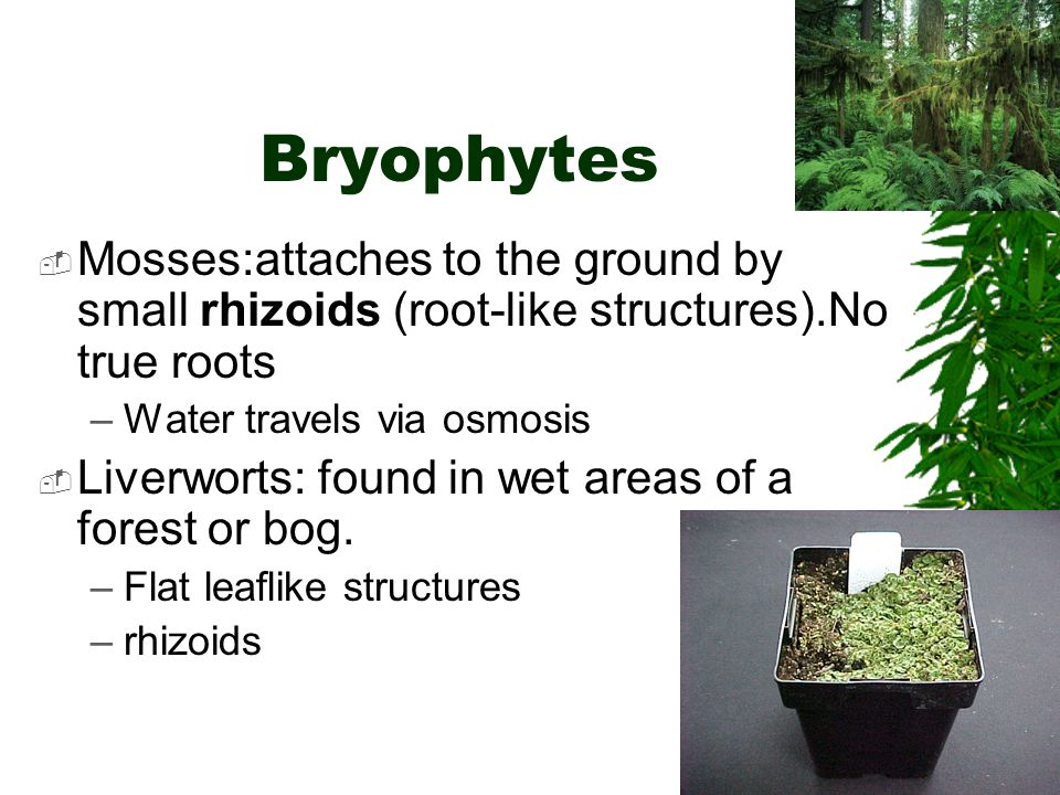 Bryophytes Mosses:attaches to the ground by small rhizoids (root-like structures).No true roots. Water travels via osmosis.