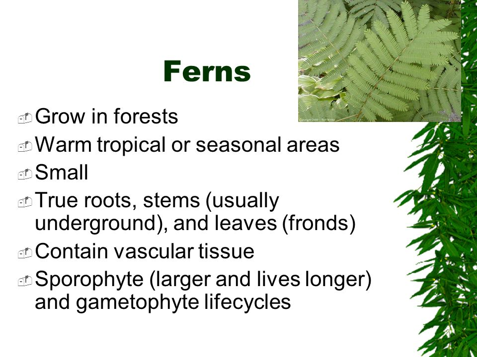 Ferns Grow in forests Warm tropical or seasonal areas Small