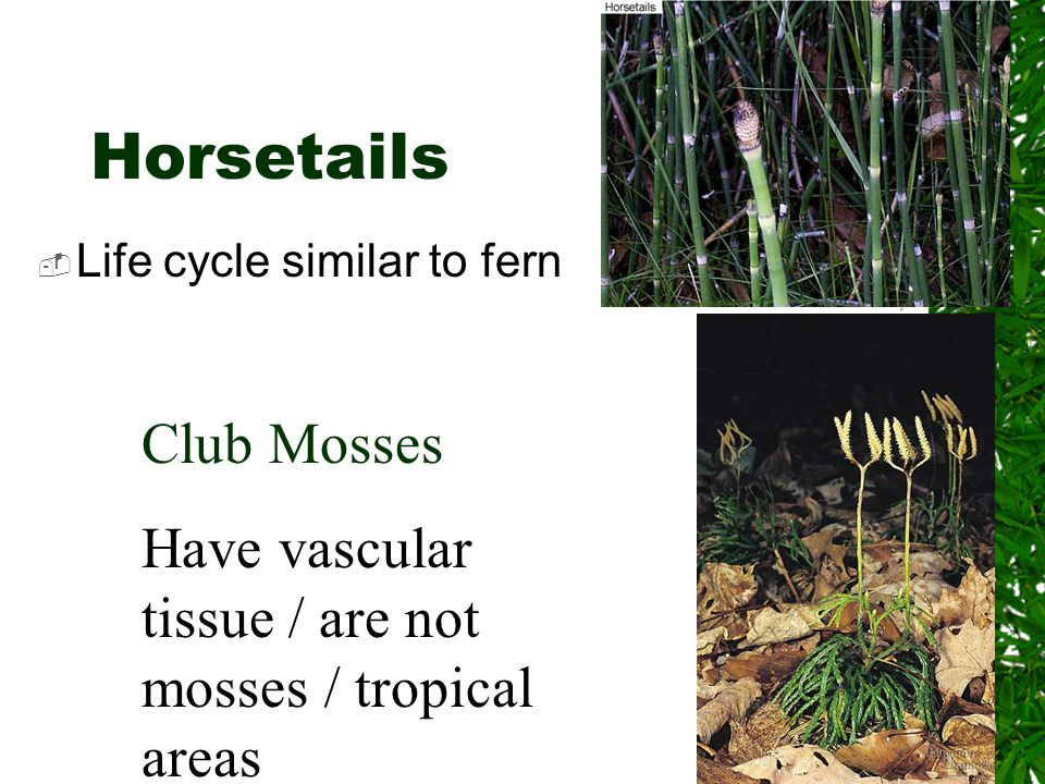 Horsetails Club Mosses