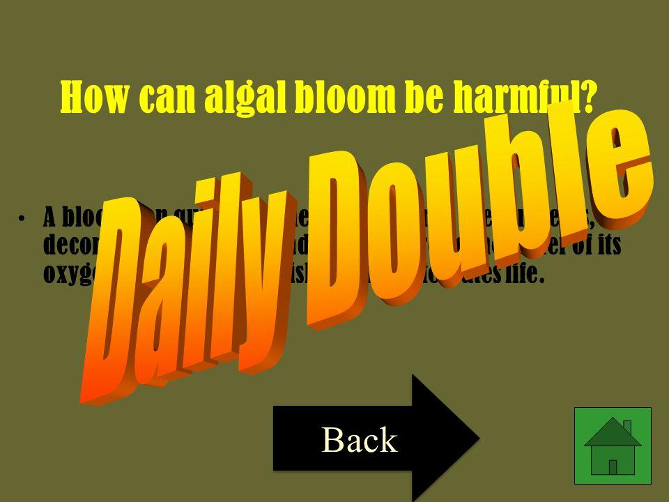 How can algal bloom be harmful