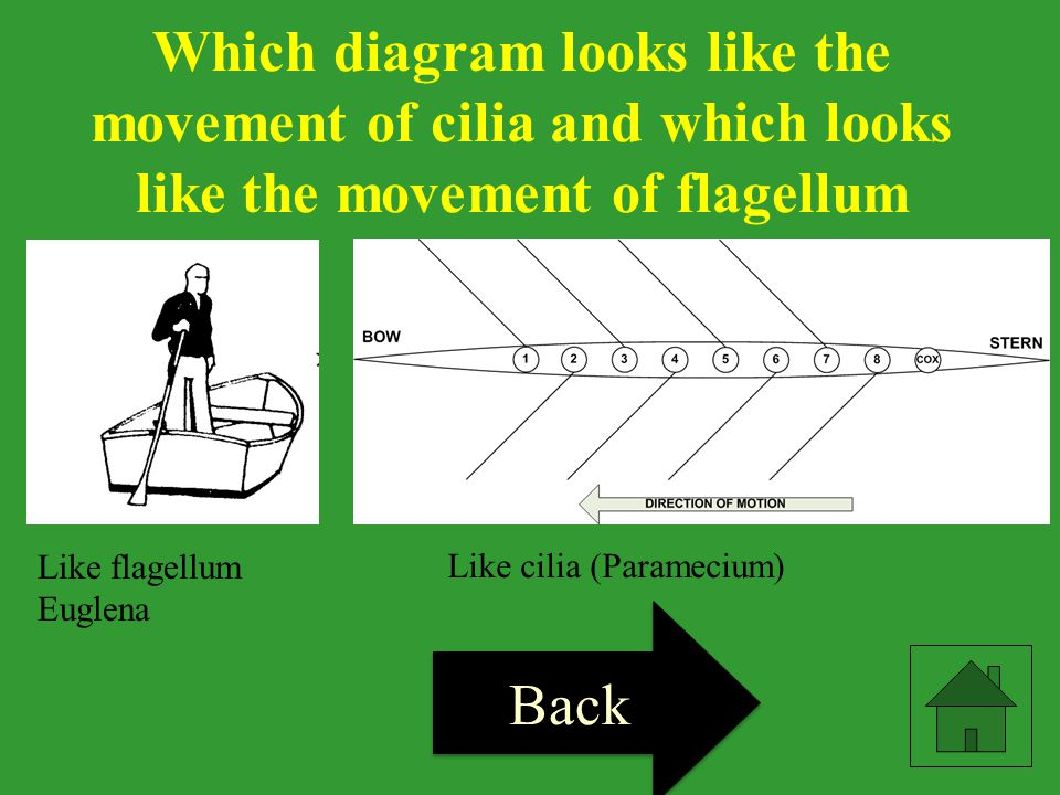 Which diagram looks like the movement of cilia and which looks like the movement of flagellum