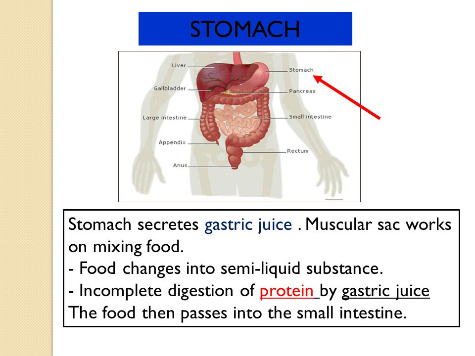 STOMACH Stomach secretes gastric juice . Muscular sac works on mixing food. - Food changes into semi-liquid substance.
