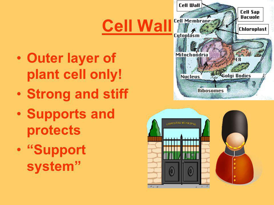 Cell Wall Outer layer of plant cell only! Strong and stiff