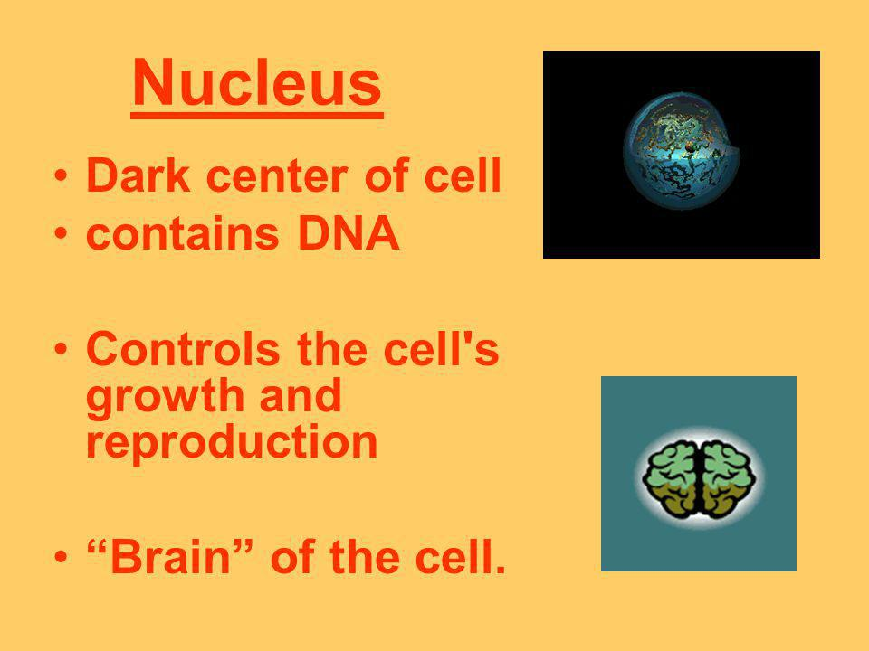 Nucleus Dark center of cell contains DNA