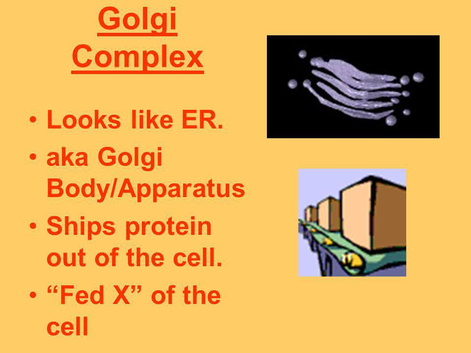 Golgi Complex Looks like ER. aka Golgi Body/Apparatus
