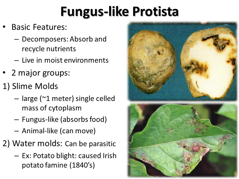 the main characteristics of the protista group What are the main characteristics of all protists  somedivide the kingdom protista into three categories  this group was expanded in 1845 to include all.