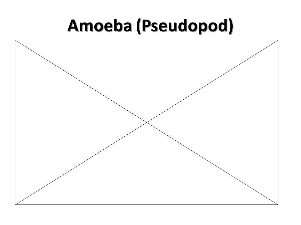 Amoeba (Pseudopod)