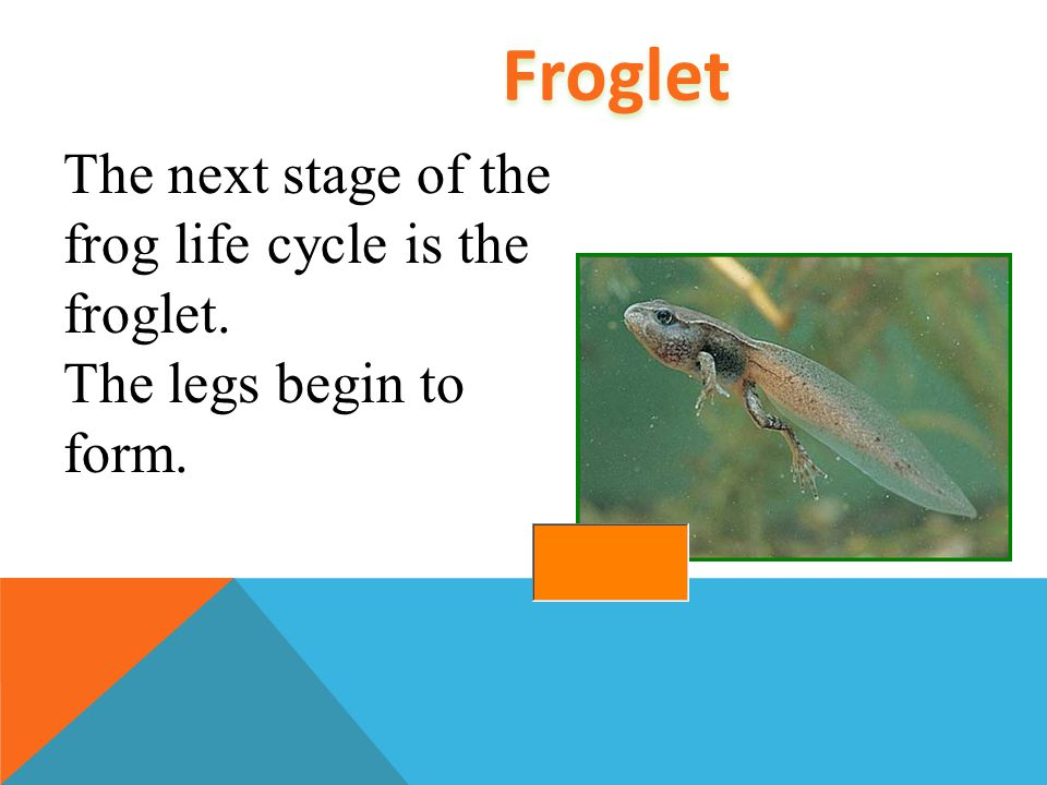 Froglet The next stage of the frog life cycle is the froglet.