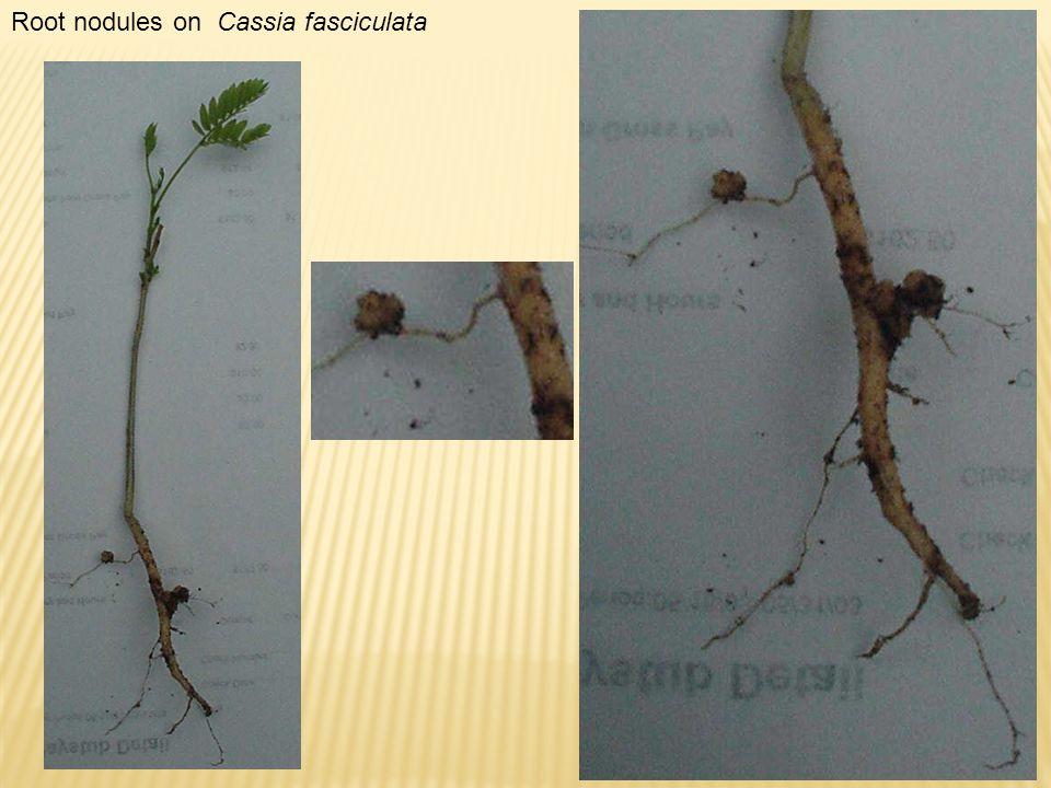 Root nodules on Cassia fasciculata