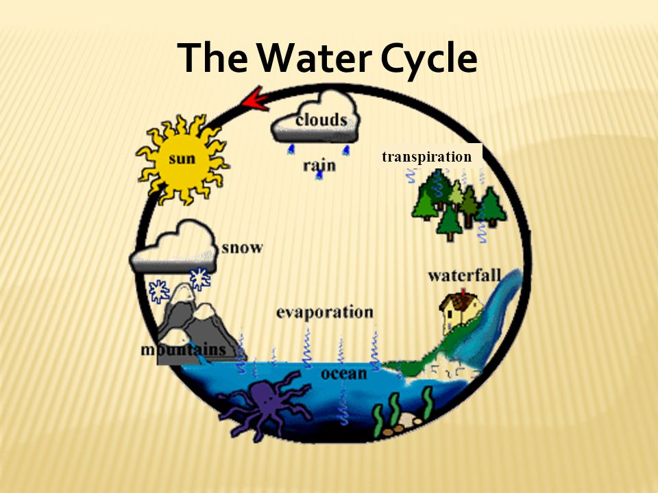 The Water Cycle transpiration
