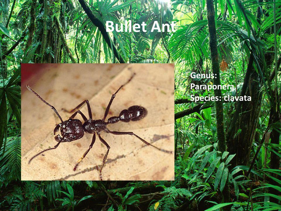 Bullet Ant Genus: Paraponera Species: clavata