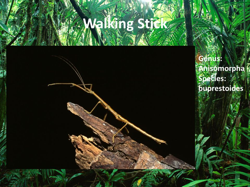 Walking Stick Genus: Anisomorpha Species: buprestoides