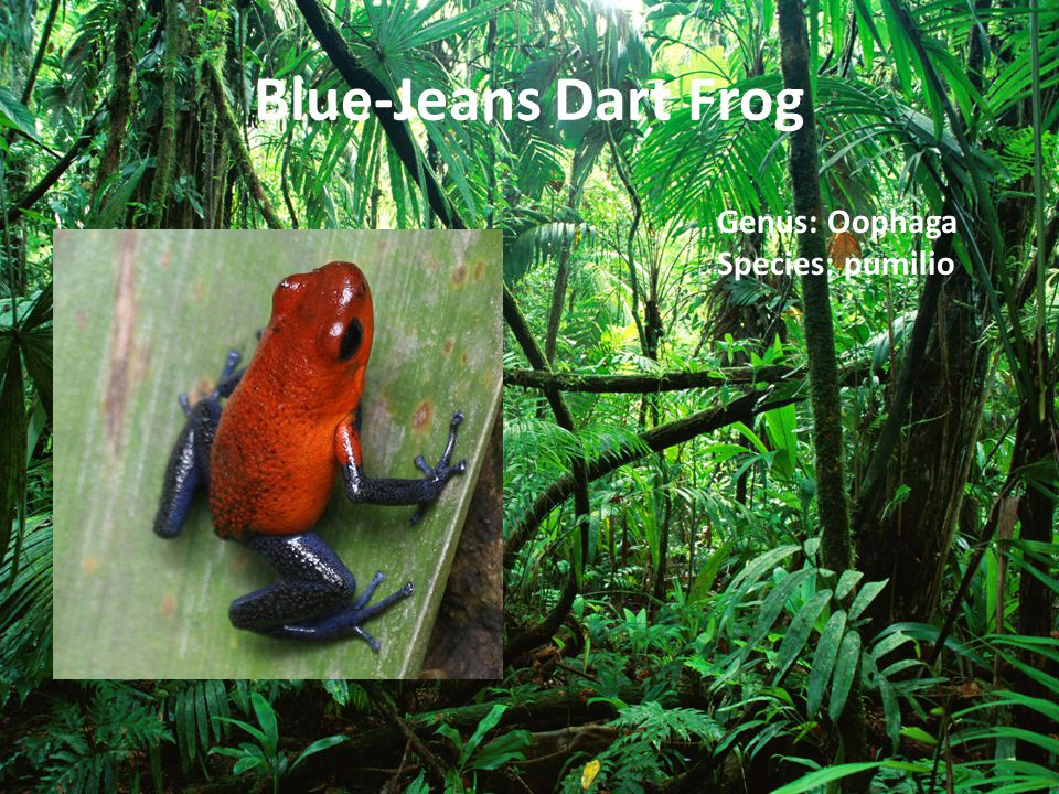 Blue-Jeans Dart Frog Genus: Oophaga Species: pumilio