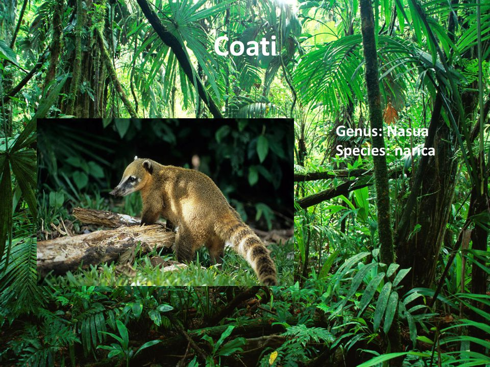 Coati Genus: Nasua Species: narica