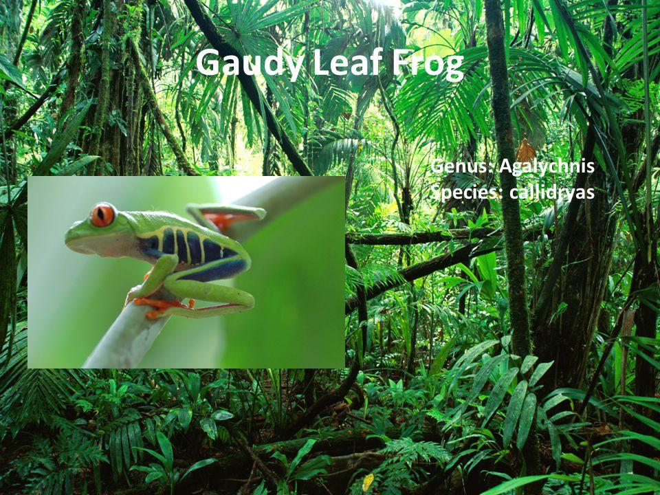 Gaudy Leaf Frog Genus: Agalychnis Species: callidryas