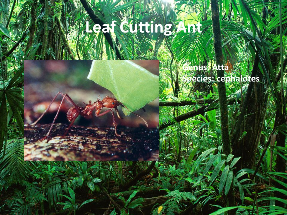 Leaf Cutting Ant Genus: Atta Species: cephalotes