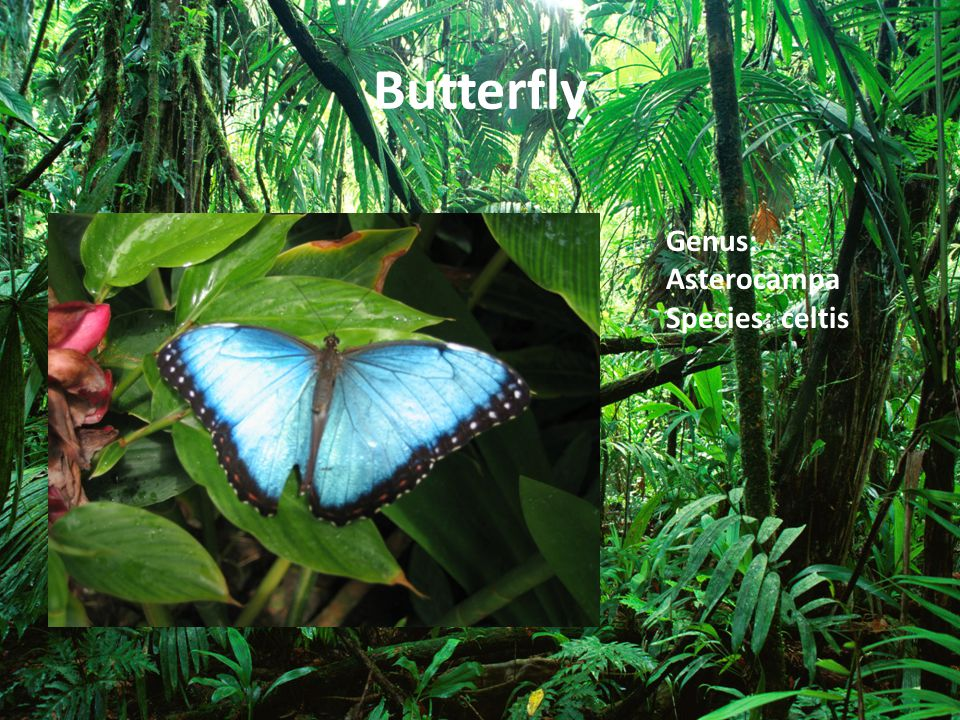 Butterfly Genus: Asterocampa Species: celtis
