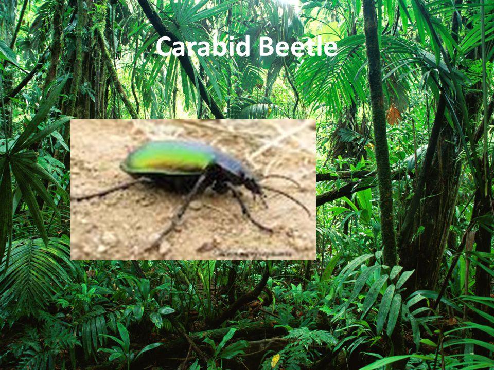 Carabid Beetle