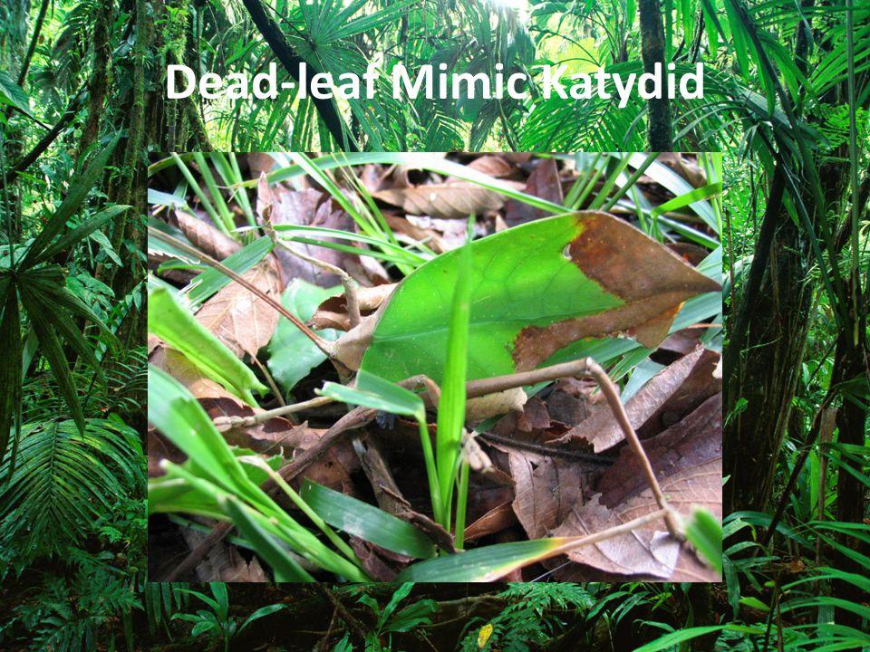 Dead-leaf Mimic Katydid