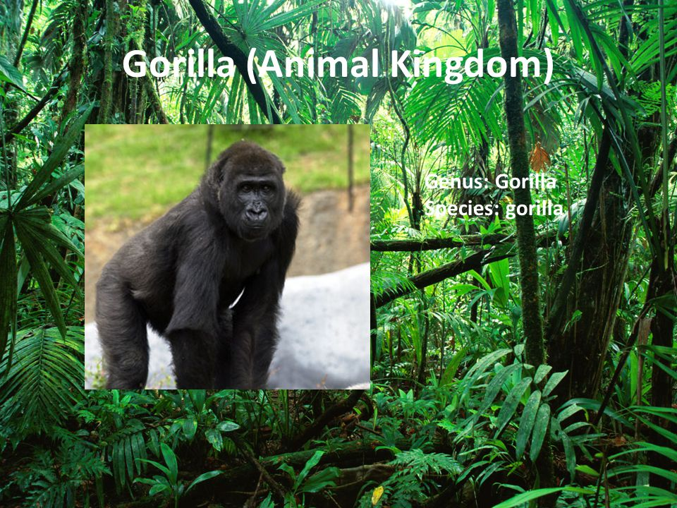 Gorilla (Animal Kingdom)