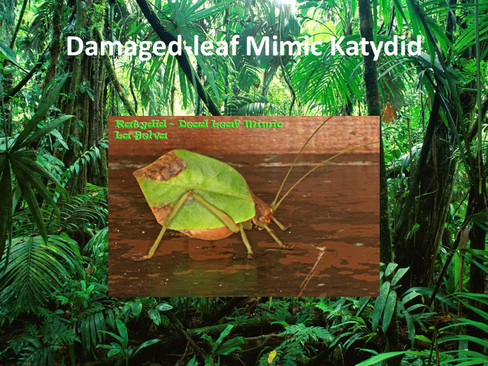 Damaged-leaf Mimic Katydid
