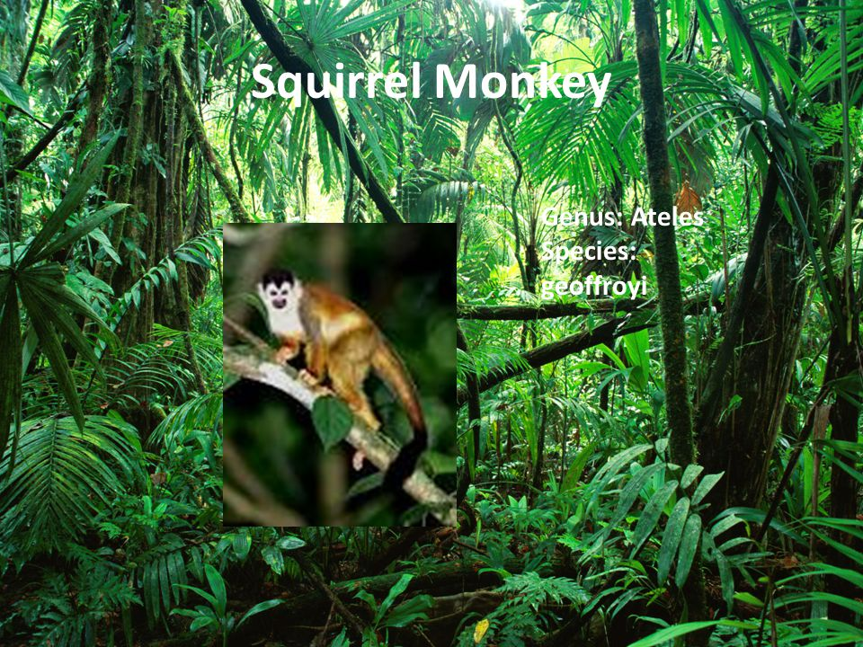 Squirrel Monkey Genus: Ateles Species: geoffroyi