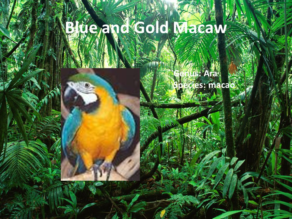 Blue and Gold Macaw Genus: Ara Species: macao
