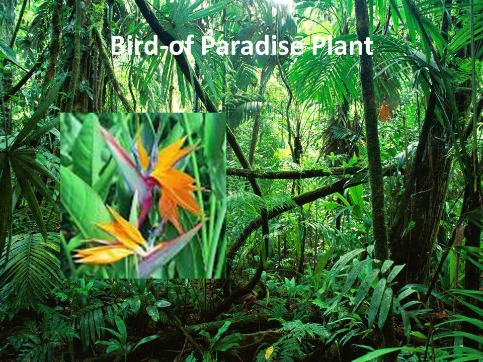 Bird-of Paradise Plant