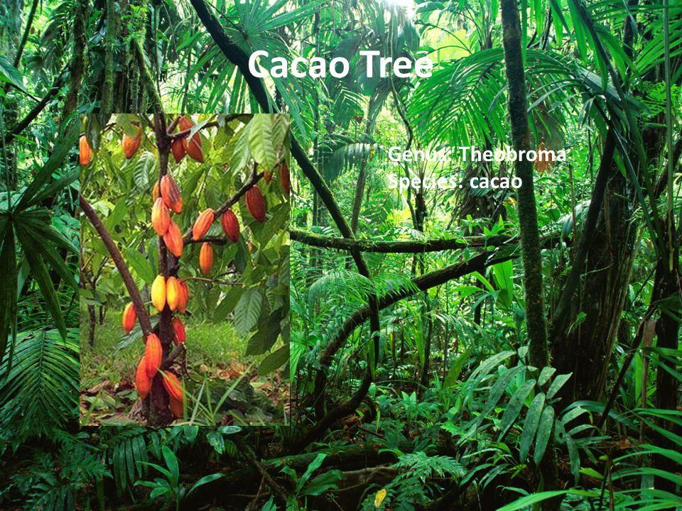 Cacao Tree Genus: Theobroma Species: cacao