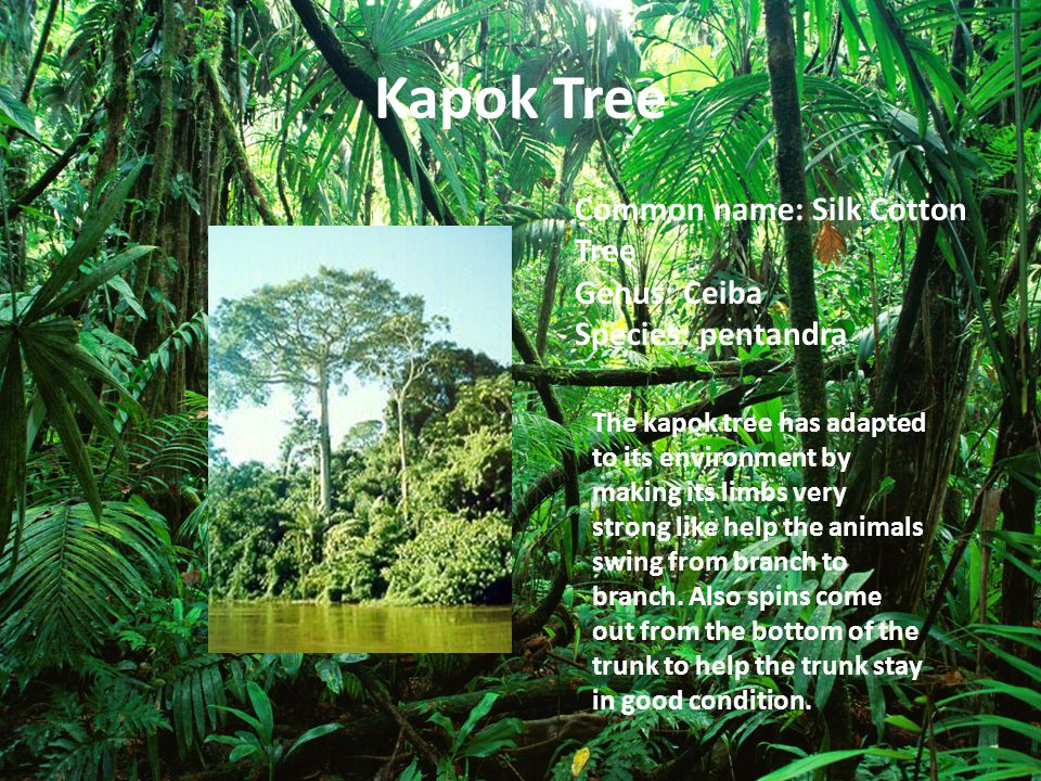 Kapok Tree Common name: Silk Cotton Tree Genus: Ceiba