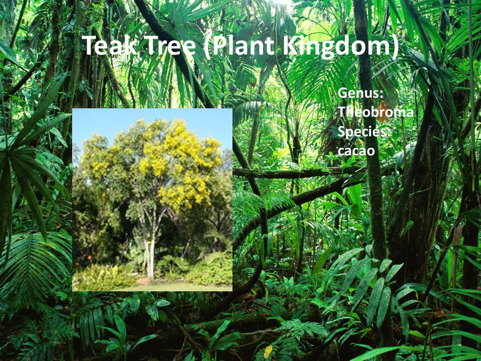 Teak Tree (Plant Kingdom)