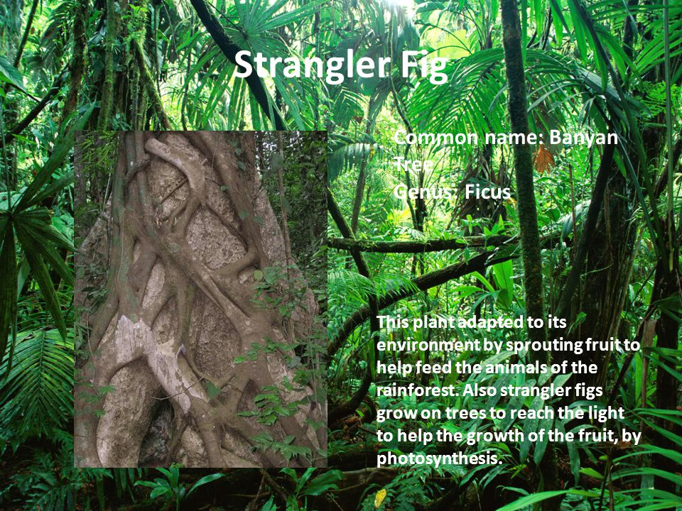 Strangler Fig Common name: Banyan Tree Genus: Ficus