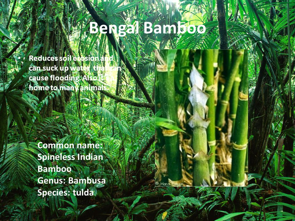 Bengal Bamboo Common name: Spineless Indian Bamboo Genus: Bambusa