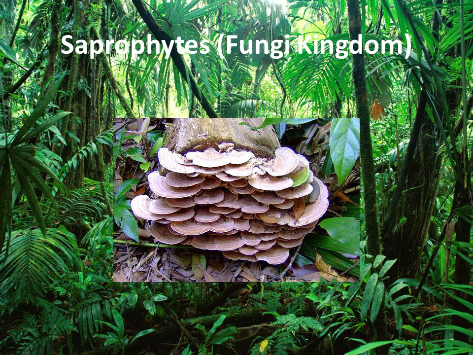 Saprophytes (Fungi Kingdom)