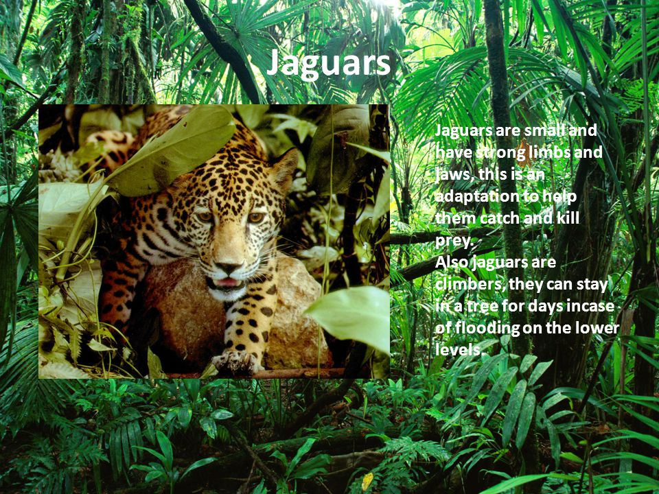 Jaguars Jaguars are small and have strong limbs and jaws, this is an adaptation to help them catch and kill prey.