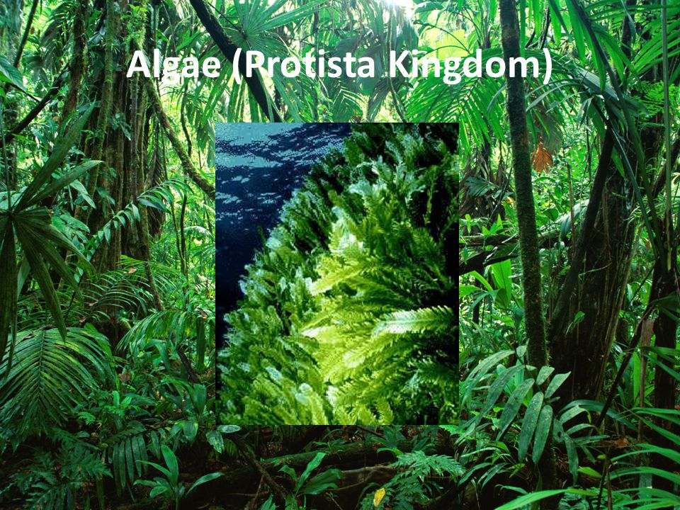 Algae (Protista Kingdom)