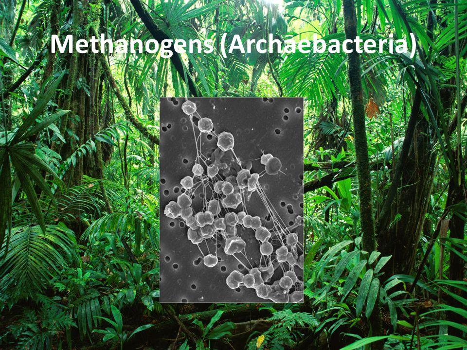 Methanogens (Archaebacteria)