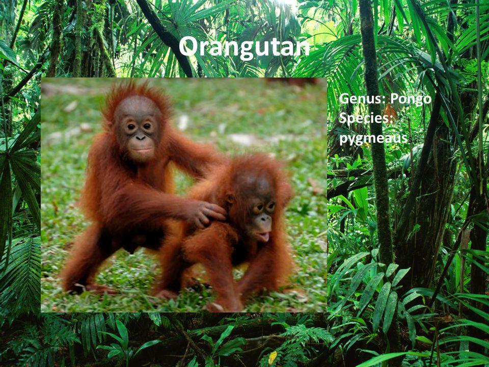 Orangutan Genus: Pongo Species: pygmeauss