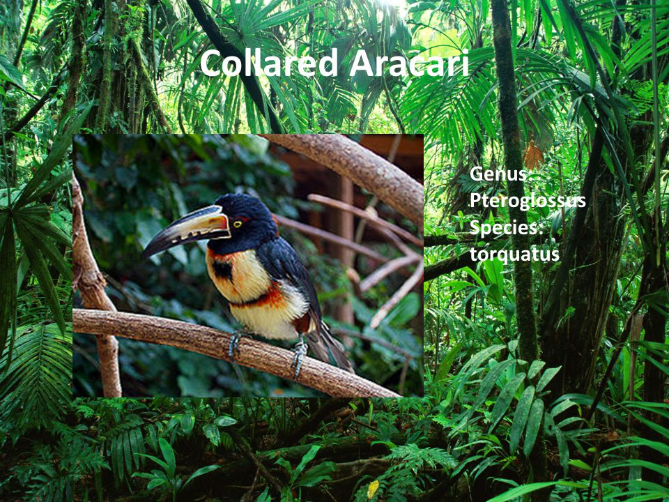 Collared Aracari Genus: Pteroglossus Species: torquatus