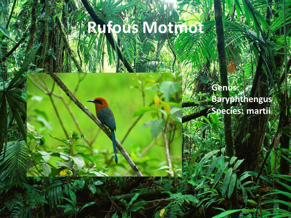 Rufous Motmot Genus: Baryphthengus Species: martii