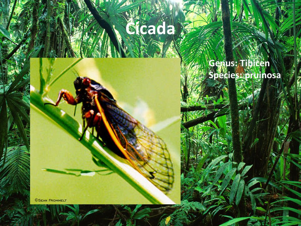 Cicada Genus: Tibicen Species: pruinosa