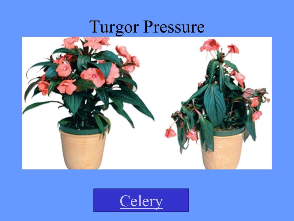 Turgor Pressure Celery
