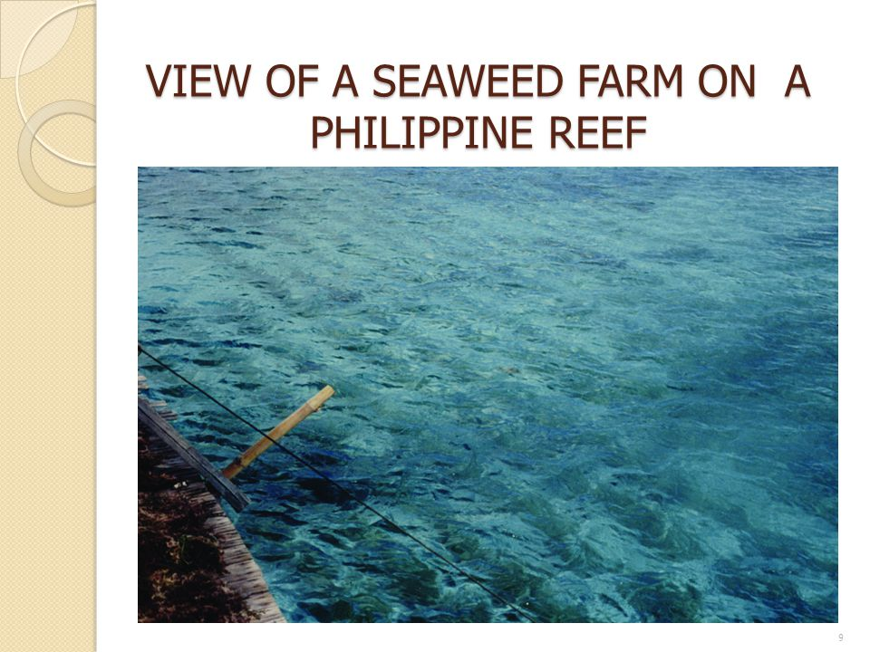 VIEW OF A SEAWEED FARM ON A PHILIPPINE REEF
