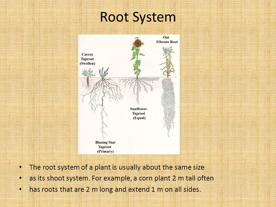 Root System The root system of a plant is usually about the same size