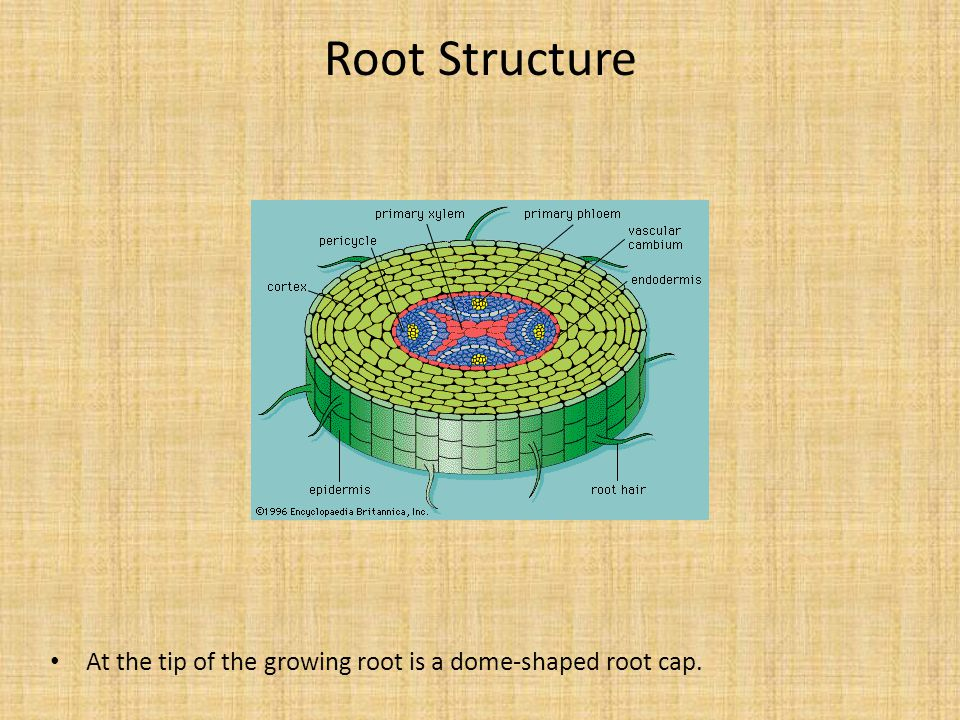 Root Structure At the tip of the growing root is a dome-shaped root cap.