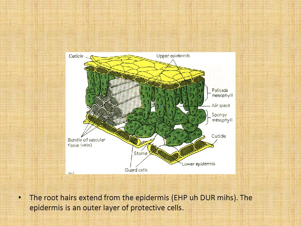 The root hairs extend from the epidermis (EHP uh DUR mihs)