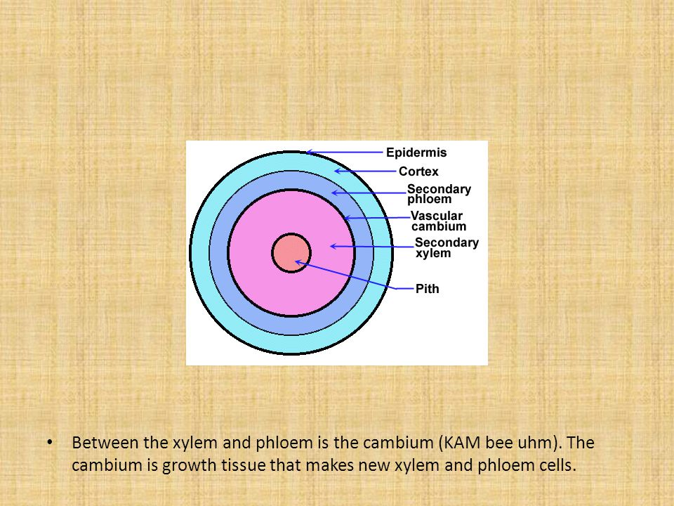 Between the xylem and phloem is the cambium (KAM bee uhm)