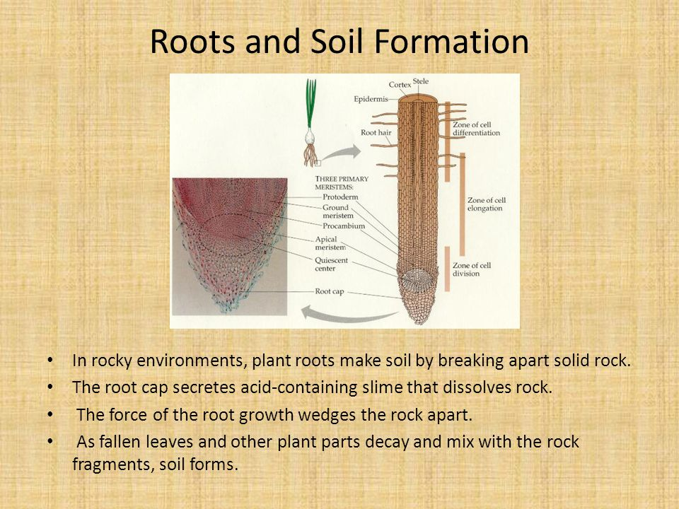 Roots and Soil Formation