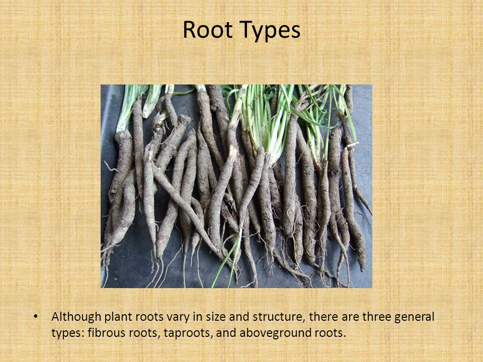 Root Types Although plant roots vary in size and structure, there are three general types: fibrous roots, taproots, and aboveground roots.